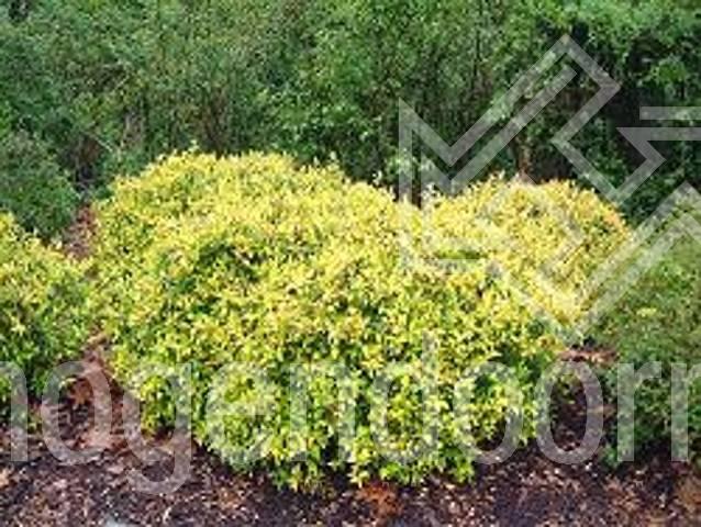 Abelia Grandiflora Francis Mason Hogendoorn Excellent In Young