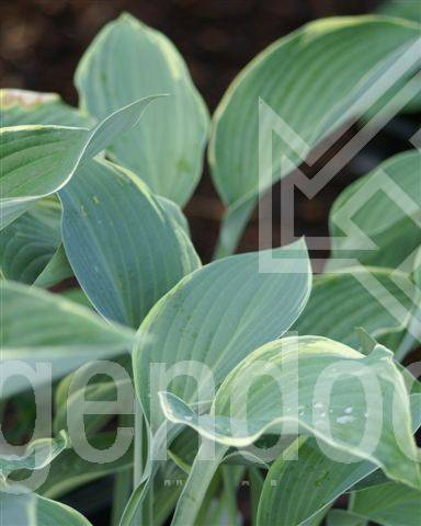 Hosta Regal Splendor Hogendoorn Excellent In Young Plants