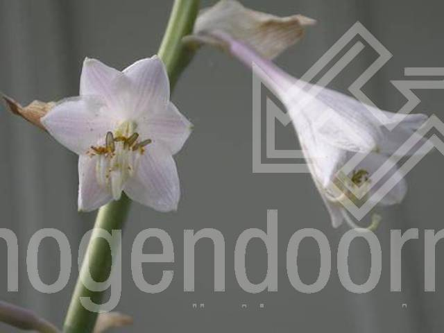 Hosta Jurassic Park Hogendoorn Excellent In Young Plants